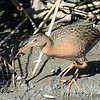 Light-Footed Clapper Rail - 3/16/2014 - Formosa Slough - - south side