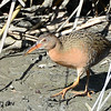 Light-Footed Clapper Rail - 3/16/2014 - Formosa Slough - south side