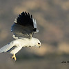 White-Tailed Kite - 3/9/14 - From Lake Hodges Pedestrian Bridge