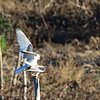 White-Tailed Kites Mating - 3/9/14 - From Lake Hodges Pedestrian Bridge