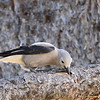 Clark's Nutcracker - 2/23/14 - Trail 7
