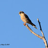 Male American Kestrel - 12/30/13 - San Pasqual Valley Trail