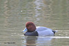 Red Head Duck - 12/8/13 - Poway Pond