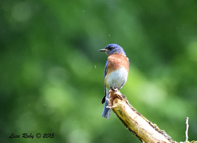 Eastern Bluebird in the rain - 6/29/2015 - Decorah Iowa, Palisades Inn