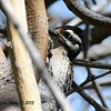 Ladder-backed Woodpecker - 4/4/2015 - tent sight, Agua Caliente