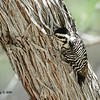 Ladder-backed Woodpecker - 4/6/2014 - Agua Caliente County Park, San Diego