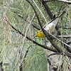 Yellow-throated Vireo - 6/20/2015 - Bird and Butterfly Garden