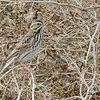 Savannah Sparrow - 09/28/2014 - Sod Farm