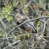 Immature Cooper's Hawk  - 6/29/2014 - Bird and Butterfly Garden, Imperial Beach