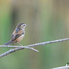 Fuzzy photo of back of a Marsh Wren - 10/26/2014 - Dairy Mart Stick Pond