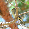Pacific-slope Flycatcher - 9/14/2014 - FRNC