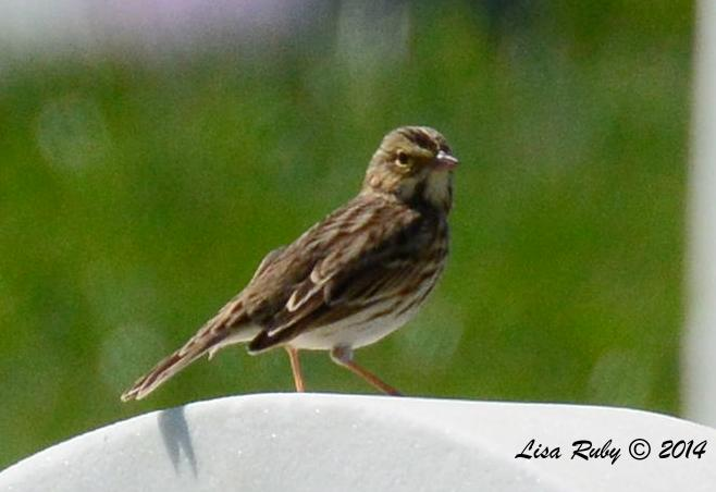 Possible Savannah Sparrow - 9/14/2014 - FRNC