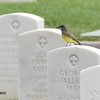 Cassin's Kingbird - 6/14/2015 - Fort Rosecrans National Cemetery