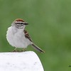 Chipping Sparrow - 6/14/2015 - Fort Rosecrans National Cemetery