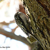 Brown Creeper - 1/3/14 - FRNC