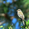 Believe this to be a Gray Flycatcher, exhibited downward tail pumping - 6/1/2014 - FRNC