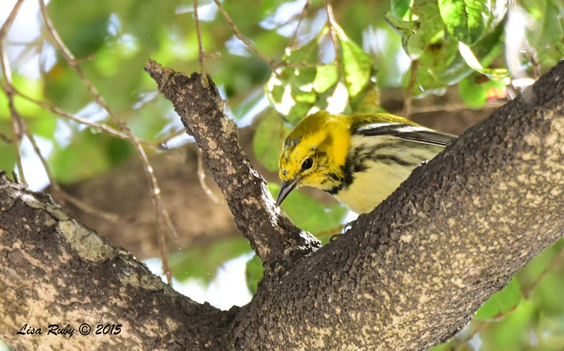 Black-throated Green Warbler -  3/29/2015 - Greenwood Cemetery
