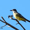 Cassin's Kingbird - 12/22/2014 - Highland Valley Coast to Crest Trail