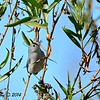 Blue-gray Gnatcatcher - 12/22/2014 - Highland Valley Coast to Crest Trail
