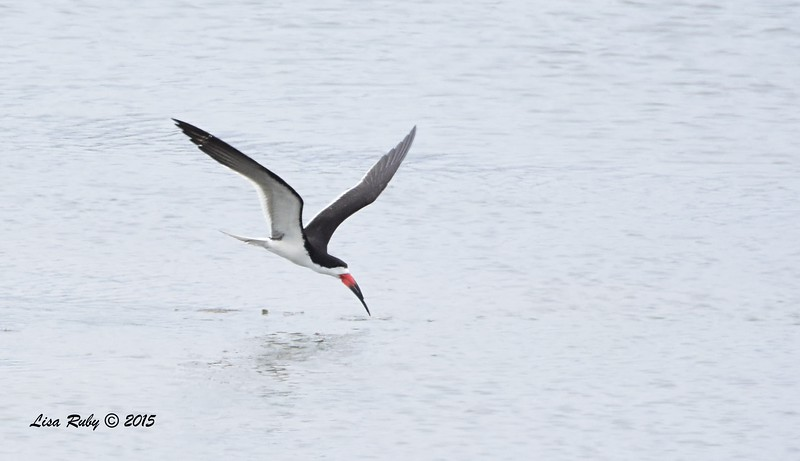 Black Skimmer  - 7/5/2015 - Imperial Beach
