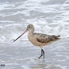 Marbled Godwit  - 7/5/2015 - Imperial Beach