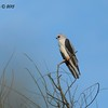 White-tailed Kite - 1/25/2015 - Borderfield State Park