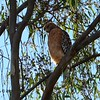 Red-shouldered Hawk - 1/25/2015 - Side of Hollister Road