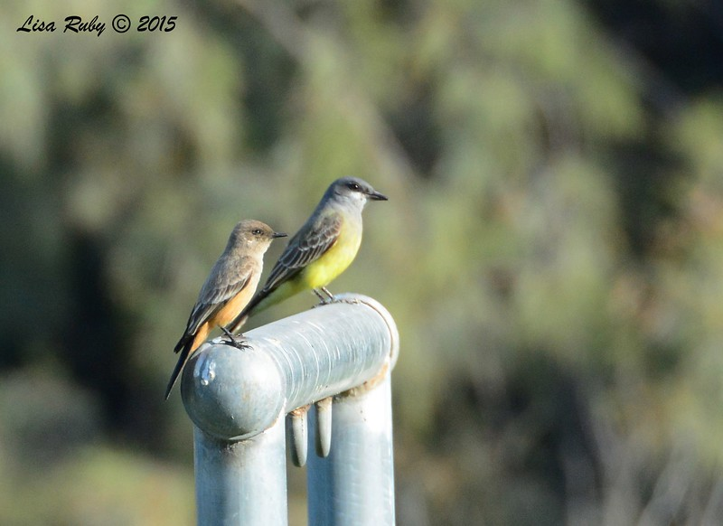 Say's Phoebe and Cassin's Kingbird - 1/25/2015 -  Bird and Butterfly Garden, Horse Corral area