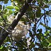 Bullock's Oriole nest - 5/30/2015 - opposite of bridge, Kitchen Creek Rd