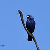 Blue Grosbeak - 5/17/2015 - Lake Hodges