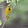 First year male Hooded Oriole - 5/25/2015 - Santee Lakes
