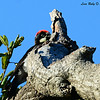 Acorn Woodpecker - 7/20/2014 - Penasquitos Canyon, Black Mtn start