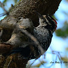 Nuttall's Woodpecker - 7/20/2014 - Penasquitos Canyon, Black Mtn start