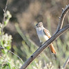 Ash-throated Flycatcher - 5/25/2014 - San Pasqual Agricultural Trail