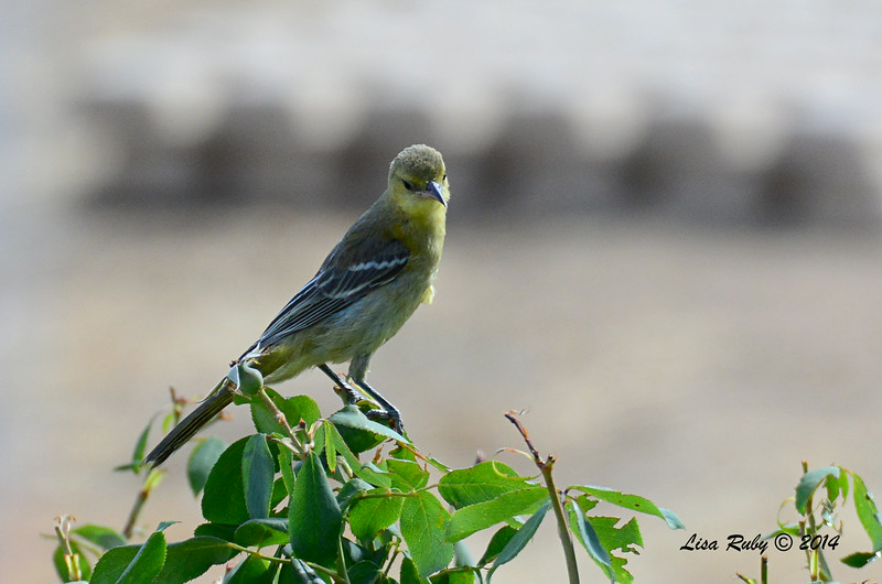 Female Hooded Oriole - 7/13/2014 - Nancy's House, Ramona