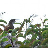 Terrible photo of a Canyon Wren (life bird for me today) - 7/13/2014 - Nancy's House, Ramona