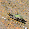 Hummingbird bathing in water running down the rock - 7/13/2014 - Nancy's House, Ramona