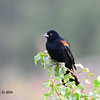 Red-winged Blackbird - 7/13/2014 - Nancy's, Ramona