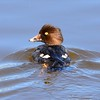 Female Goldeneye - 2/15/2015 - Dairy Mart Pond