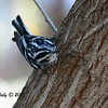 Black and White Warbler - 2/15/15 - Nestor Park