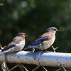 Mom and Fledgling Western Bluebird - 5/10/2015 - Fort Rosecrans National Cemetery