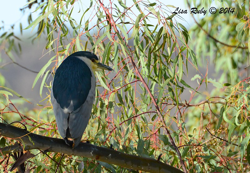 Black-crowned Night Heron - 12/7/2014 - Poway Pond