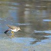 Spotted Sandpiper - 12/7/2014 - Poway Pond, private side