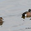 Blue-winged Teal Pair  - 12/19/2014 - Robb Field