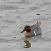 Green-winged Teal  - 12/19/2014 - Robb Field