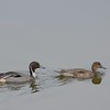 Northern Pintail Pair  - 12/19/2014 - Robb Field