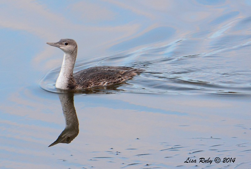 Need ID Confirmation 1st winter Red-throated Loon?  - 12/19/2014 - Robb Field