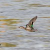 Female Green-winged Teal  - 12/19/2014 - Robb Field