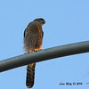 Cooper's Hawk - 8/18/14 - On light post in Sabre Springs South