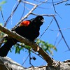 Red-winged Blackbird - 3/20/2015 - San Elijo Lagoon
